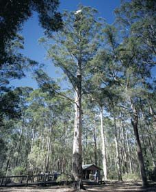 Diamond Tree Lookout Manjimup - Accommodation Gladstone