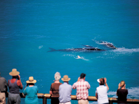 Whale Watching At Head Of Bight - Accommodation Gladstone