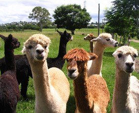 Banyandah Alpacas - Accommodation Gladstone