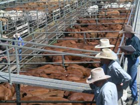 Dalrymple Sales Yards - Cattle Sales - Accommodation Gladstone