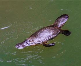 Platypus Viewing at Broken River - Accommodation Gladstone