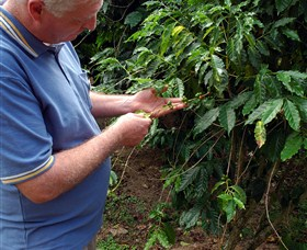 Wombah Coffee Plantation - Accommodation Gladstone